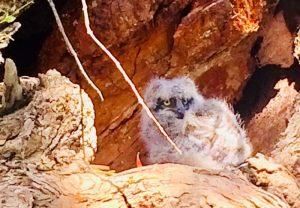 Eagle owlet by Noa Allerton