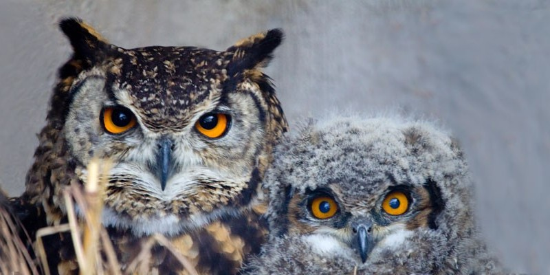 Cape Eagle owl and baby